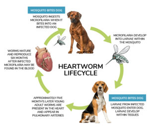 heartworm life cycle, dog heartworm risk, pet heartworm risk, dog heartworm prevention, heartworm treatment